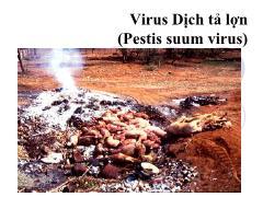 Tìm hiểu về Virus dịch tả lợn