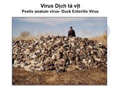 Tìm hiểu về Virus dịch tả vịt