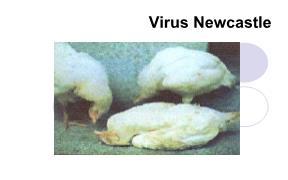 Tìm hiểu về Virus newcastle